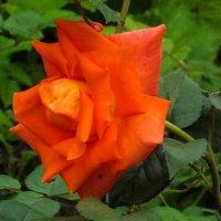 Роза :: Виктор Киселев