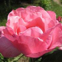 Краше роз могут быть только розы :: Елена Милая