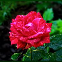 Красная роза ... рубином в бутоне ,взгляд приковала - живая, как кровь! :: Людмила Богданова (Скачко)