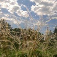 Трава ковыль :: Наталья Тагирова