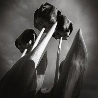 Грозные тюльпаны. :: Андрий Майковский