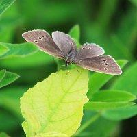 Бабочка :: Александр Щеклеин