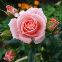 Роза :: Светлана Лысенко