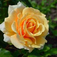Розы в нашем саду (этюд 1) :: Константин Жирнов