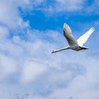 Белый лебедь :: Леонид Санников