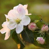 ветка яблони :: Марта