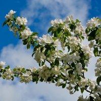Весны цветенье... (этюд 1) :: Константин Жирнов