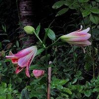 цветы у дома :: Александр Корчемный