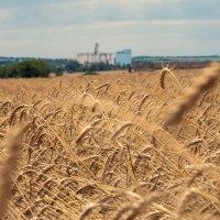 Пшеничное поле :: Владимир Боровков