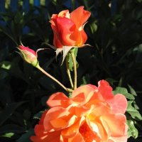 Роза чайная расцветает. :: Людмила Ларина