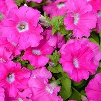 Квіти для Вас :: Степан Карачко