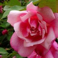 розовая нежность :: СветЛана D