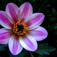 Цветы :: Zifa Dimitrieva