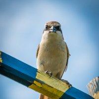 Взгляд хищника, а птичка чуть больше воробья... :: Сергей Щелкунов