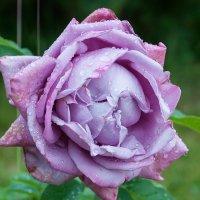 как хороши, как свежи были розы 2 :: Galina