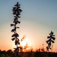 Закатные цветы :: Виктор Зенин