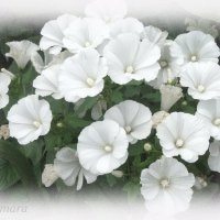 Лаватера белая... :: Тамара (st.tamara)