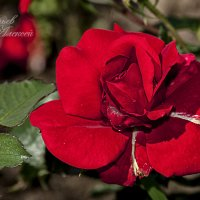 Роза :: Алексей Шеметьев