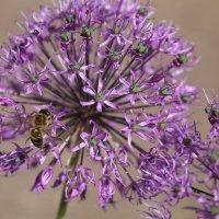 Пчела на сиреневом цветке :: Любовь
