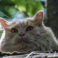 Портрет кота :: Наталья Rosenwasser