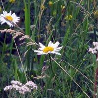 Полевые цветы. :: Оксана Н
