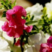 цветы :: Сергей Швечков