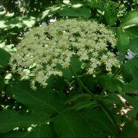 В нашем огороде цвела бузина... :: Нина Корешкова