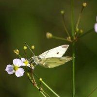 Завтрак бабочки :: Ирина Приходько