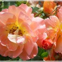 Акварельные розы :: Эля Юрасова