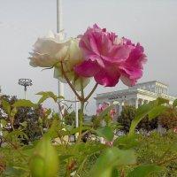 """""""мобильные"""" розы :: Александра"""