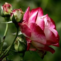 Роза. :: Маргарита ( Марта ) Дрожжина