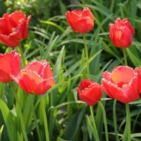 Тюльпаны :: Николай Климанов