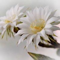 Мой кактус.. :: Тамара Бучарская