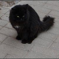 Черный кот :: Вера
