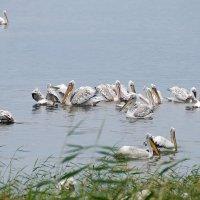 Пеликаны на рыбалке :: Галина Мухина