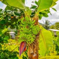 Гроздь бананов :: Лёша