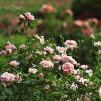 розовый куст :: Tatyana Belova