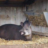 Южноамериканский тапир :: Natalia Harries
