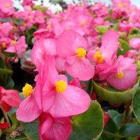 Вечно цветущая бегония :: laana laadas