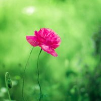 аленький цветочек :: Анна Шелест