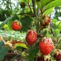 Последние ягоды :: Наиля