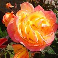 Солнечная роза :: Эля Юрасова