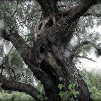 старая ива в грозу :: Александр Прокудин
