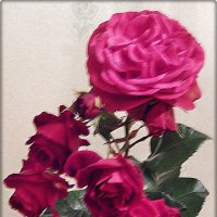 Мои розы :: Natali