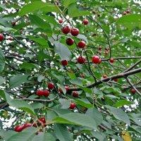 Зреют вишни. :: Лариса Вишневская