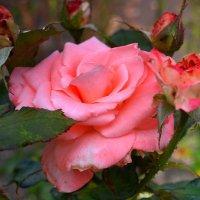 Роза :: Ростислав