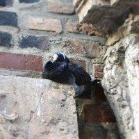 голубь на стене церкви :: Надежда Трофимова