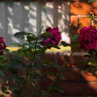 Розы :: Константин Фролов