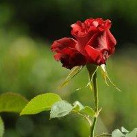 Просто роза. It's just a rose. :: Юрий Воронов