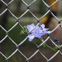 Цветок цикория в заборной сетке :: Наталья Золотых-Сибирская